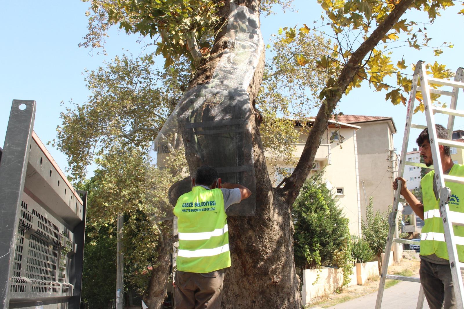 Gebze'de ağaçlara özenli koruma