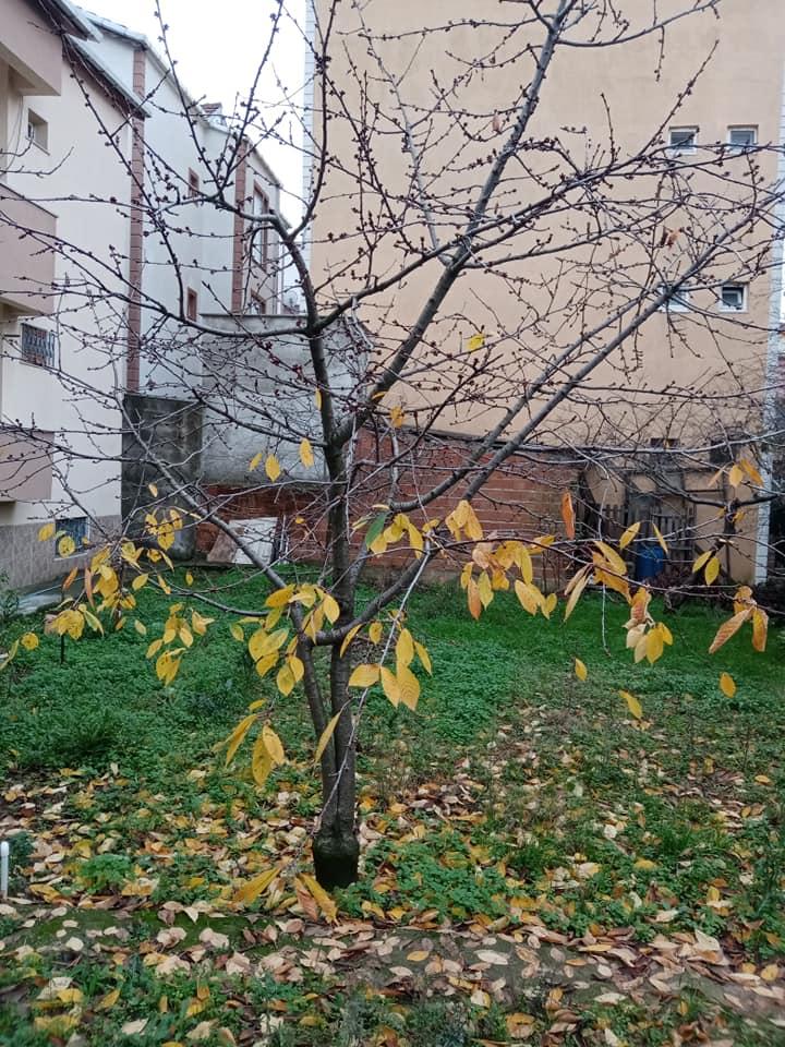 Kiraz ağacı Aralık ayında tomurcuk patlattı-HAVALAR İYİCE ŞAŞIRTIYOR!