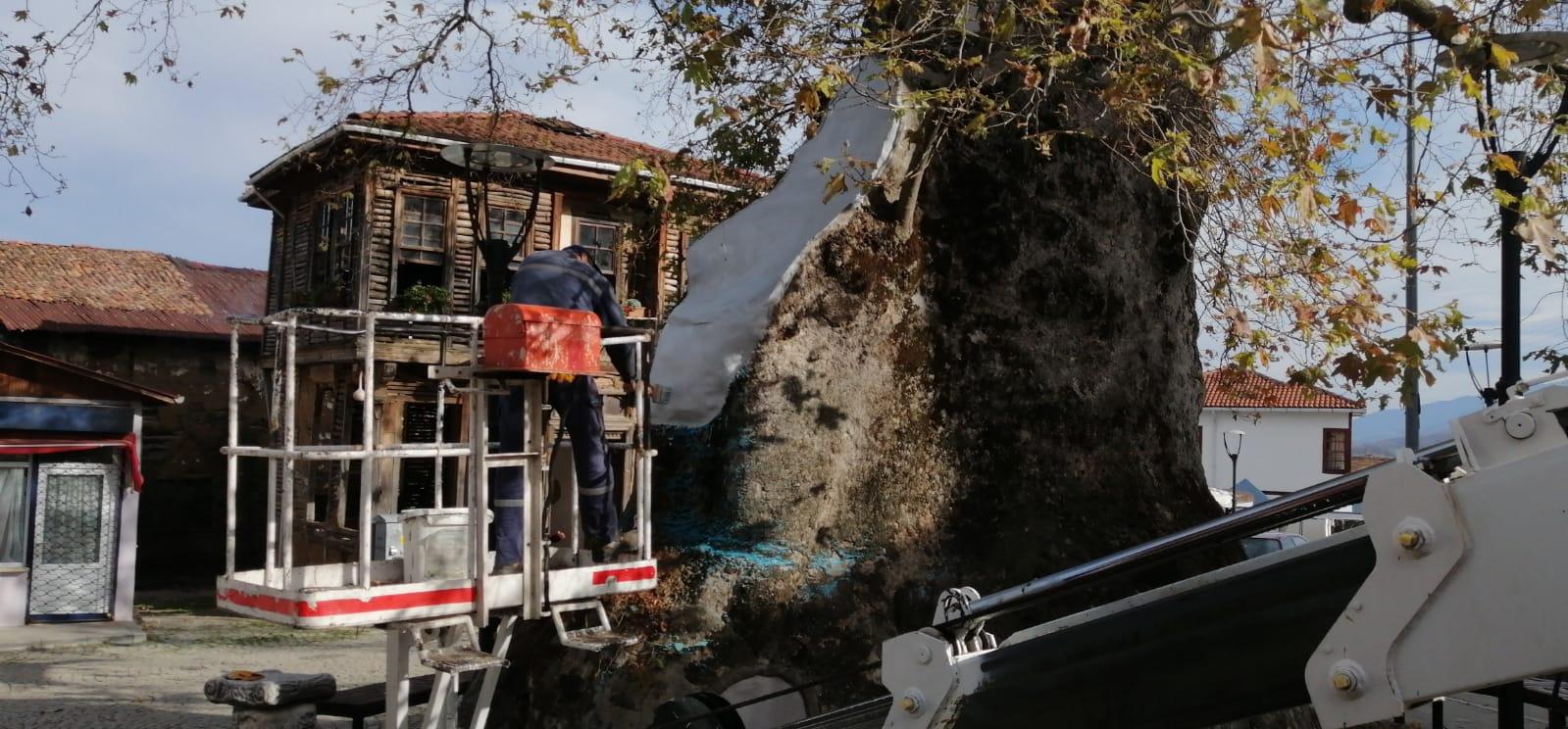 Gölcük'te 12 asırlık çınar ağacının bakımı yapıldı