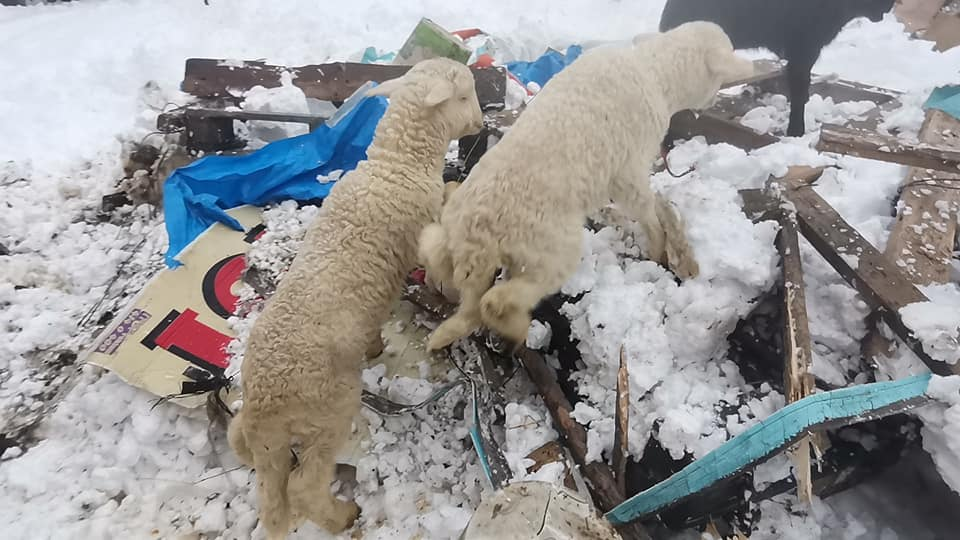 Koyunları ve kuzuları telef olmaktan belediye kurtardı!
