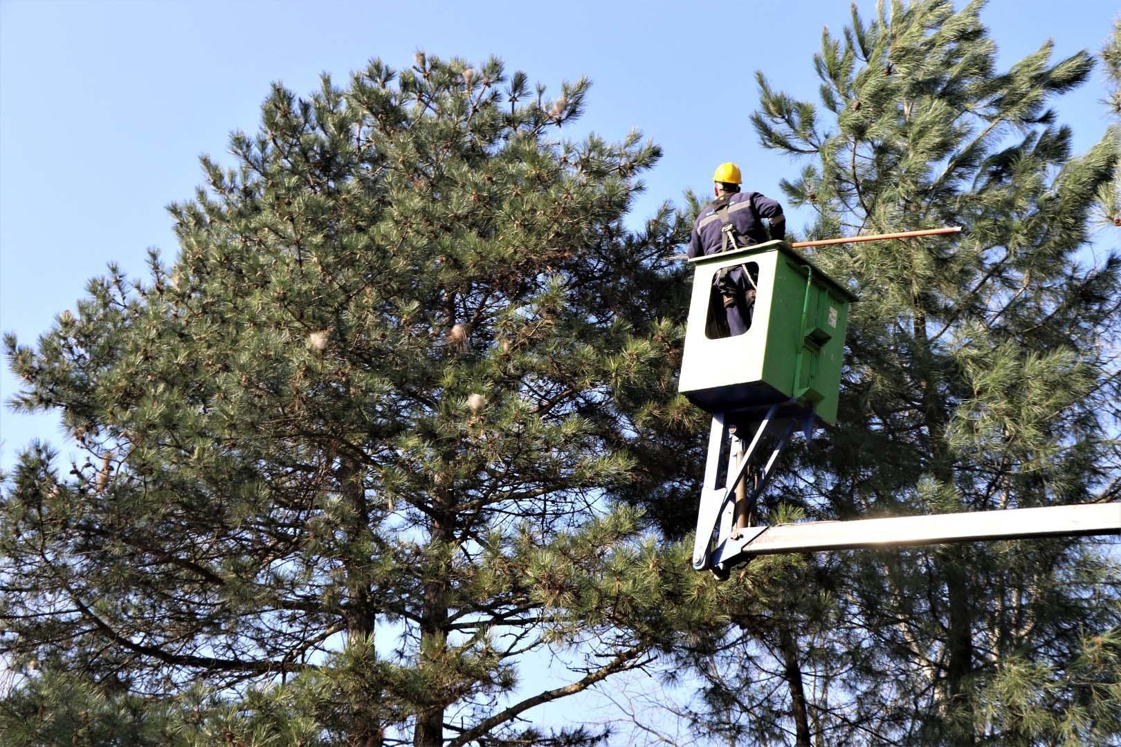 Büyükşehir, ağaçları bitiren kese böcekleri için sahada!