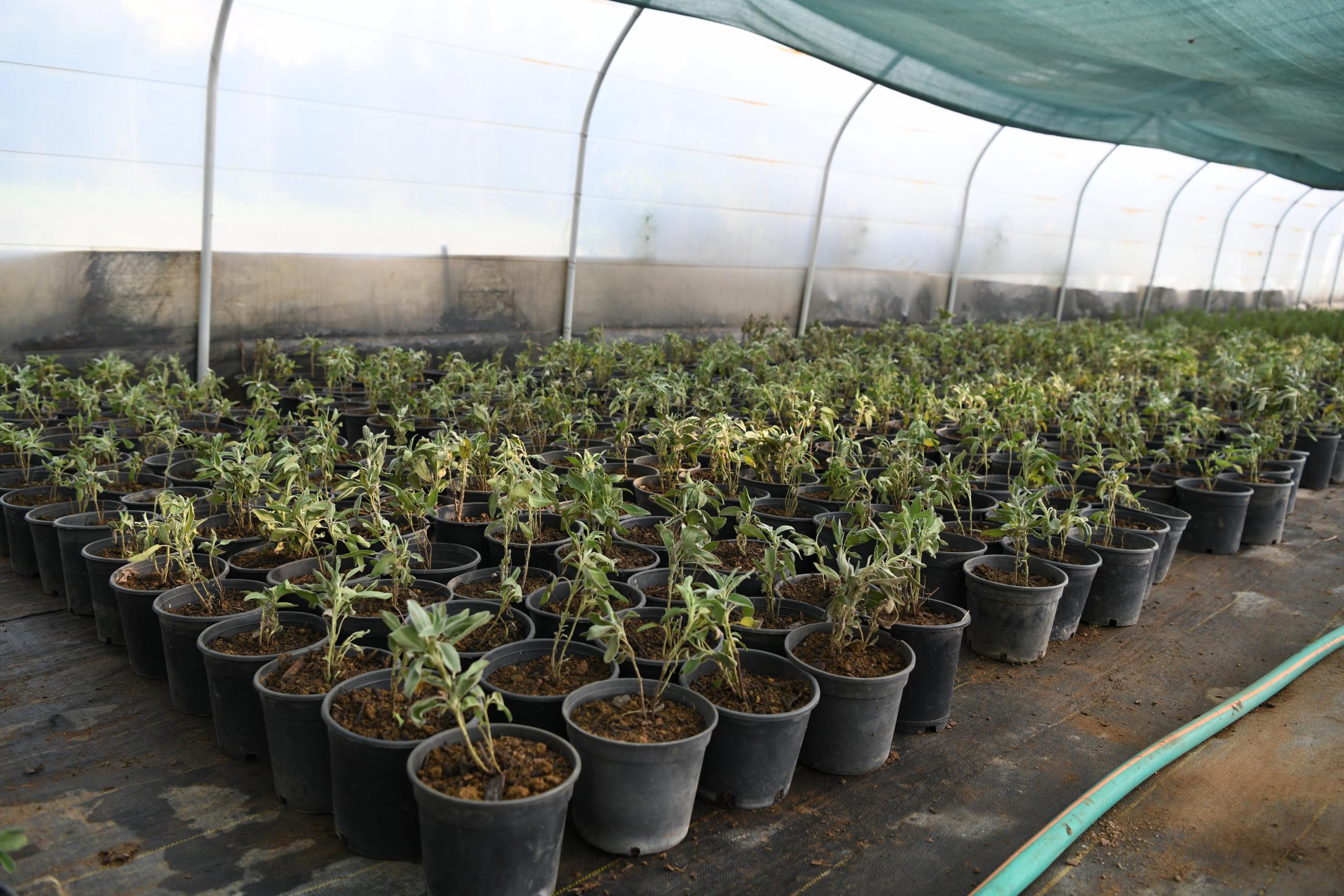 Çayırova Belediyesi, serada bitki üretimi yapıyor