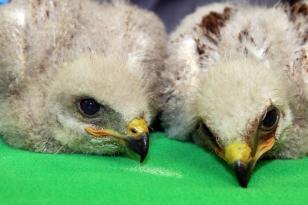 Büyükşehir'e doğayı koruma alkışı: Kızıl Şahin yavruları koruma altına alındı