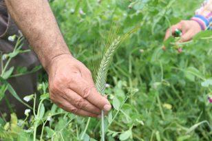 Kocaeli Büyükşehir'den 2700 çiftçiye tohum desteği